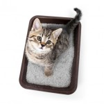kitten or cat in toilet tray box with absorbent litter isolated